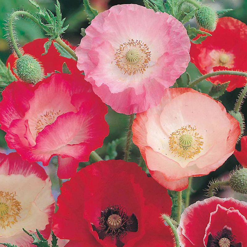 Poppy Shirley Single Flower Seeds from DT Brown Seeds