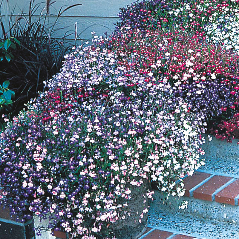 Lobelia Trailing Fountains Mixed D T Brown Flower Seeds