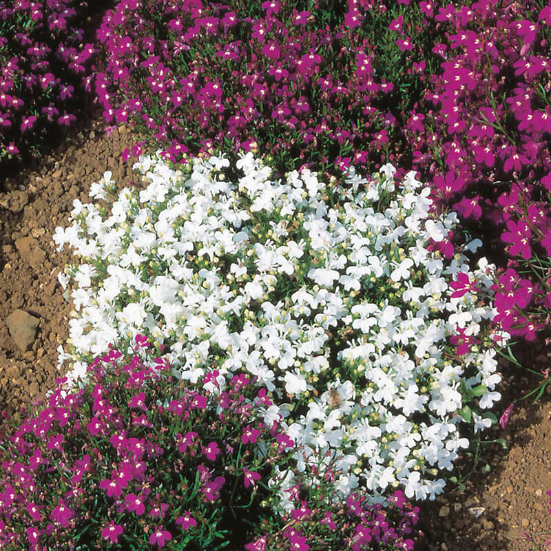Lobelia Edging Variety White Perfection From Dtbrown