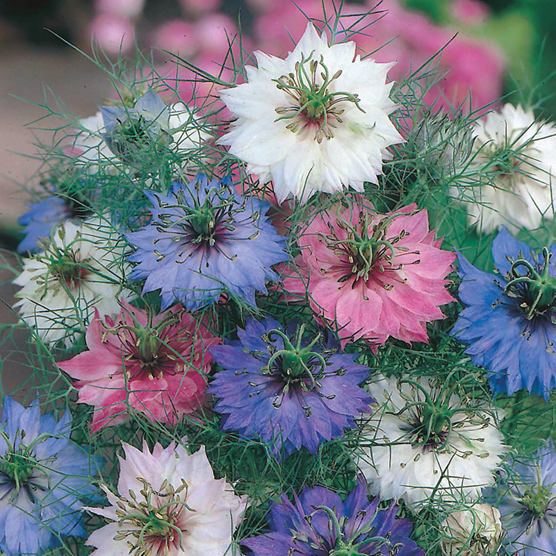 Love In A Mist Persian Jewels Flower Seeds From DT Brown