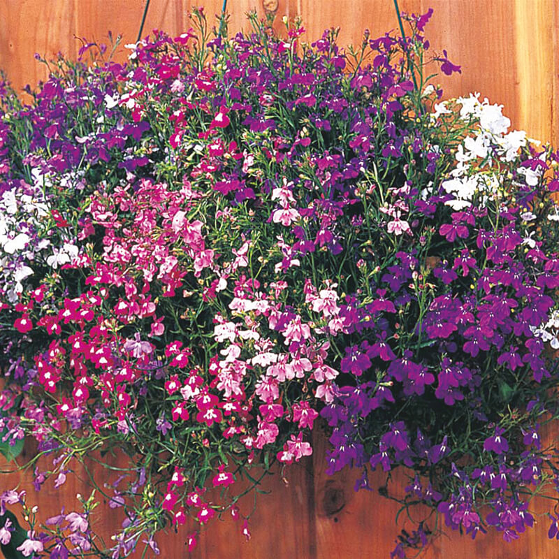 Trailing Lobelia Seed Delivered Direct By Dtbrown Seeds