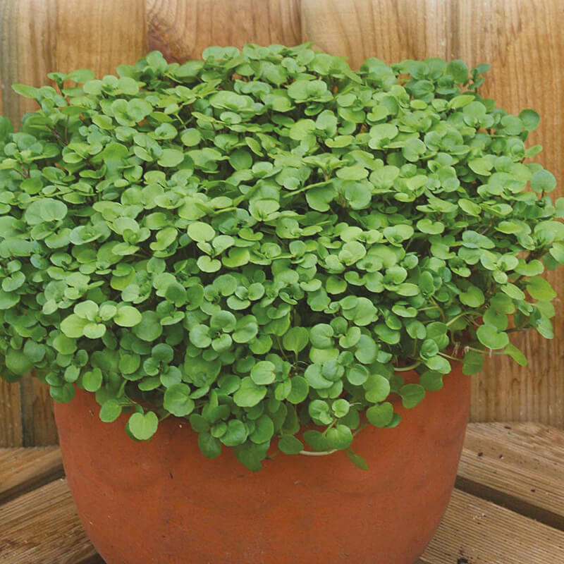 how to grow watercress from seed