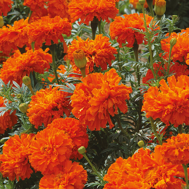Marigold African Kees Orange Flower Seeds From D T Brown