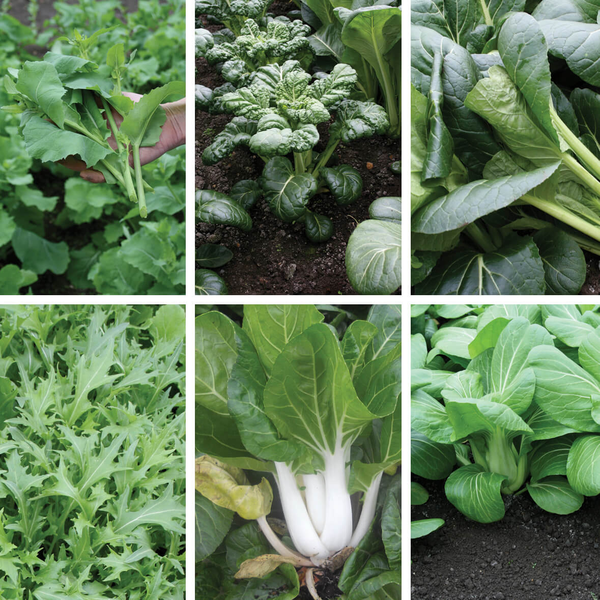 All Year Round Oriental Greens Veg Seed Collection