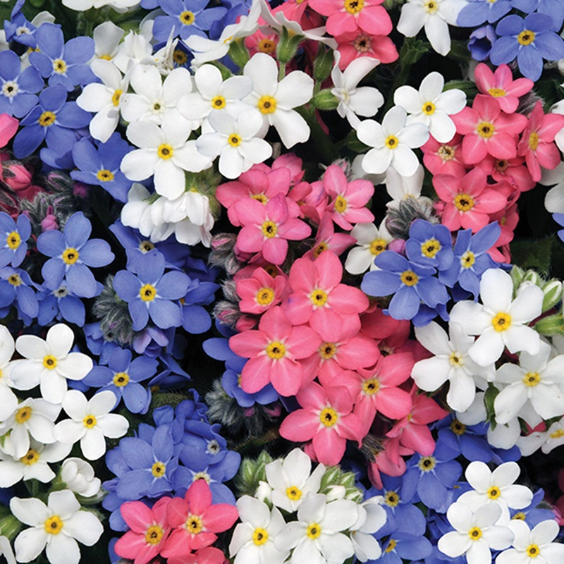 Forget Me Not Sylvia Mix Flower Plants From Dt Brown Seeds
