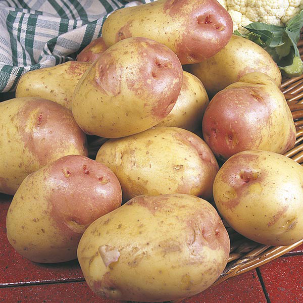 Potato King Edward Vii Maincrop Seed Potato From Dt Brown