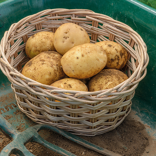 Potato Safari ... & Potato Safari (Main Seed Potato) From DT Brown Seeds