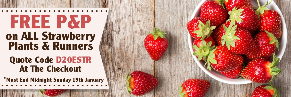 Free Postage On Quality Strawberry Runners