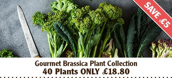Gourmet Brassica Plants