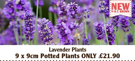 9cm Lavender Flower Plants