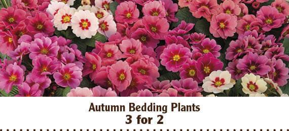 Save on autumn bedding plants