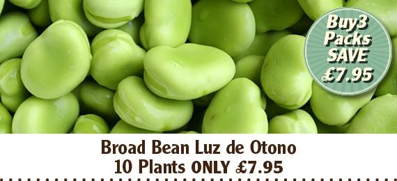 Broad Bean Luz de Otono Plants