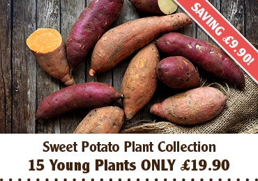 Sweet Potato Plants