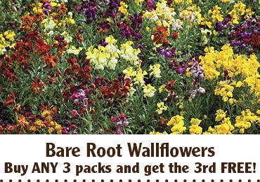 Bare Root Wallflowers