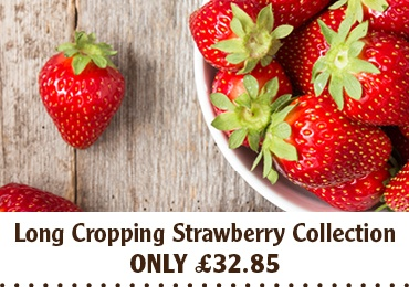 Long Cropping Strawberry Collection