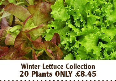 Winter lettuce collection