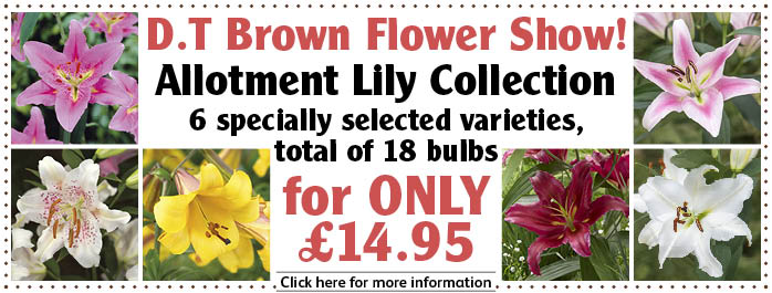 Allotment Lily Collection