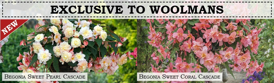 New & Exclusive Begonia Plants